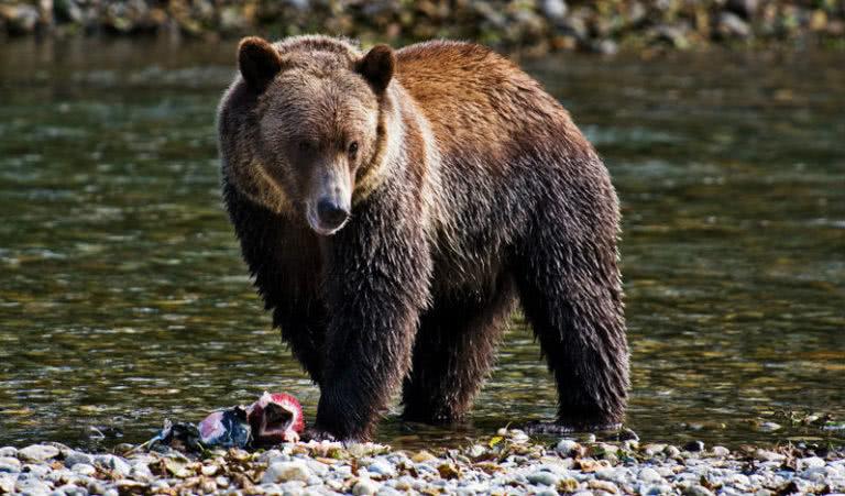 Black bear, Canada #BT